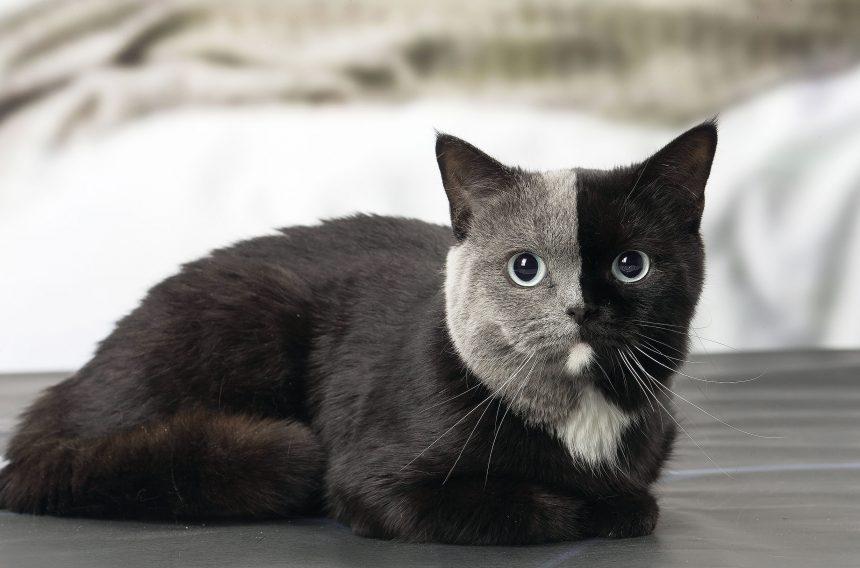 Tawallis katt